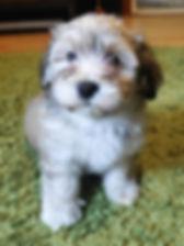 Brown pup.jpg