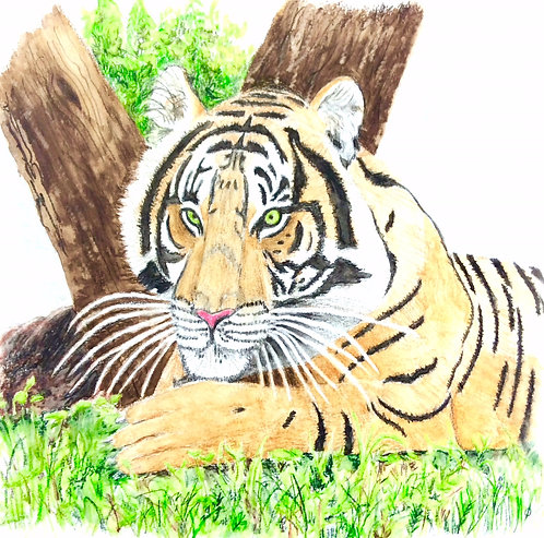 Tiger from Safari