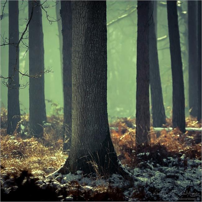 chêne parmi les pins