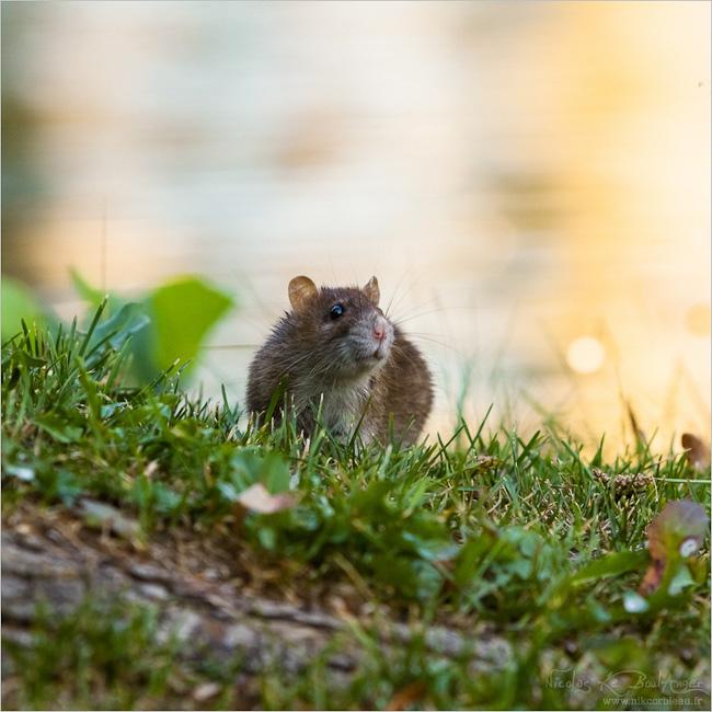 l'élégance du rat