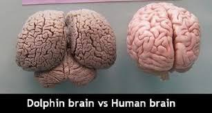 Dolphin Brains?