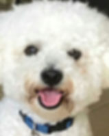 This is the reference photo for a pet portai painting of Baci a Bichon Friese pup He is white and wearinga blue collar