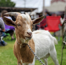 A%20shared%20goat%20experience%20at%20Go