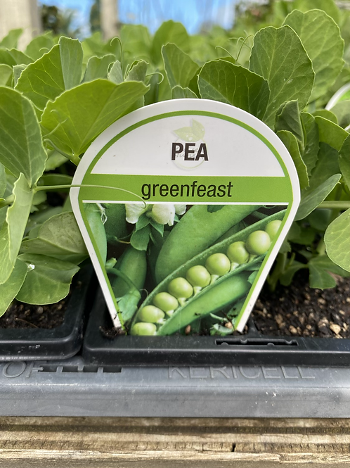 Pea Greenfeast 6 cell K
