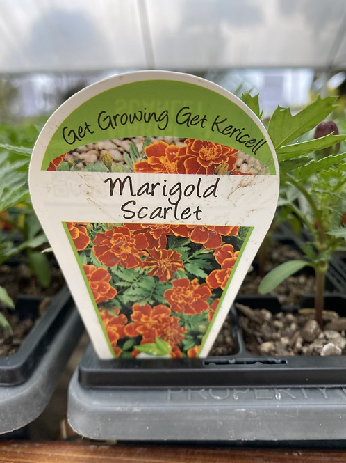 Marigold Scarlet 6 cell K