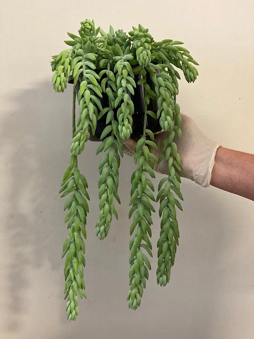 Sedum Morganianum 17.5cm