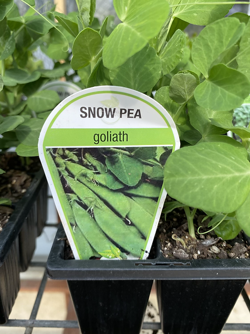 Pea Snow 6 cell K