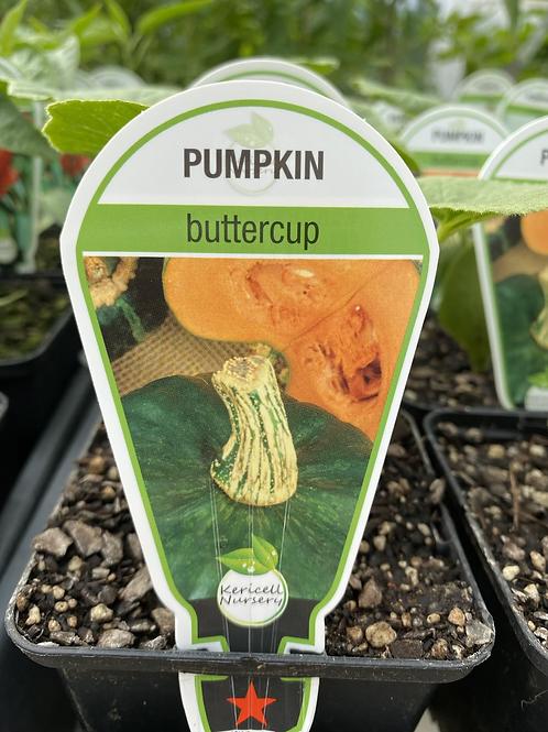 Pumpkin Buttercup 9cm