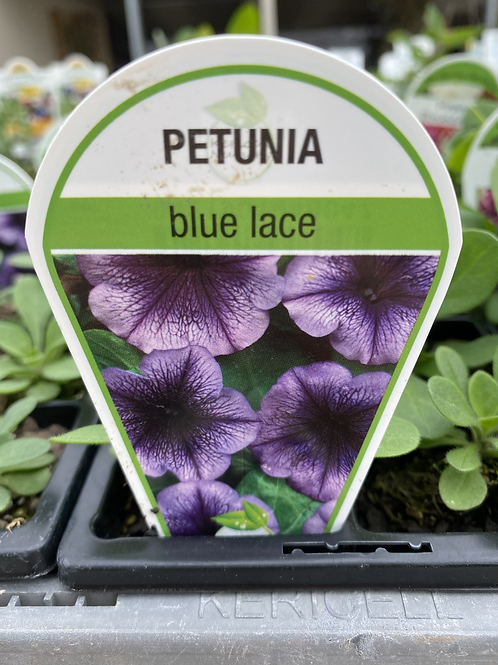 Petunia Blue Lace 6 cell K