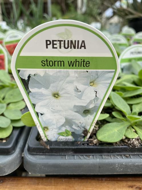 Petunia Storm White 6 cell K