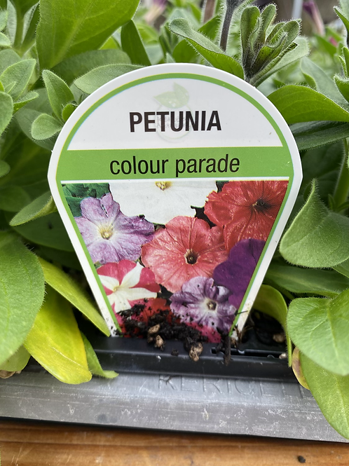 Petunia Colour Parade 6 cell K