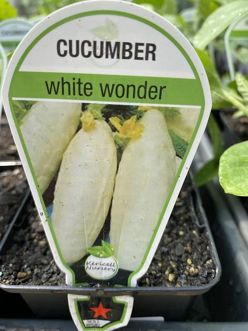 Cucumber White Wonder 9cm