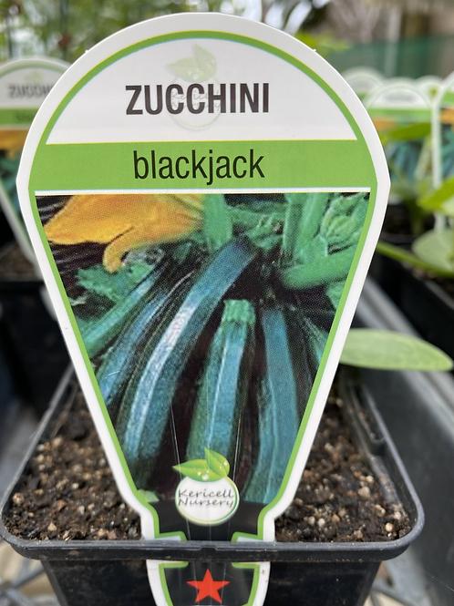 Courgette Black Jack 9cm