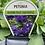 Thumbnail: Petunia Blue Cascade 6 cell K