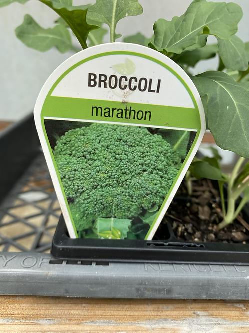 Broccoli Marathon 6 cell K