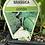 Thumbnail: Brassica Combo 6 cell K