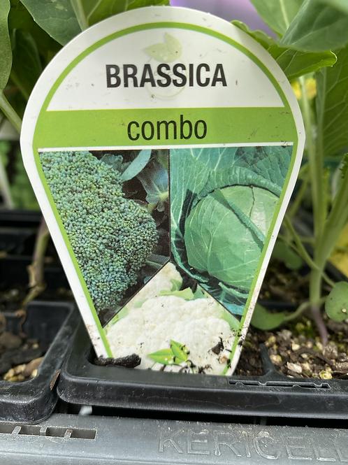Brassica Combo 6 cell K