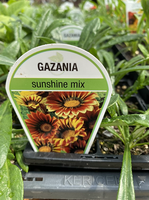 Gazania Sunshine Mix 6 cell K