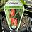 Thumbnail: Capsicum Lunchbox Red 1.3L