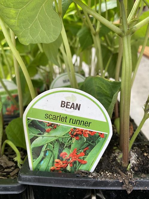Bean Scarlet Runner 6 cell K