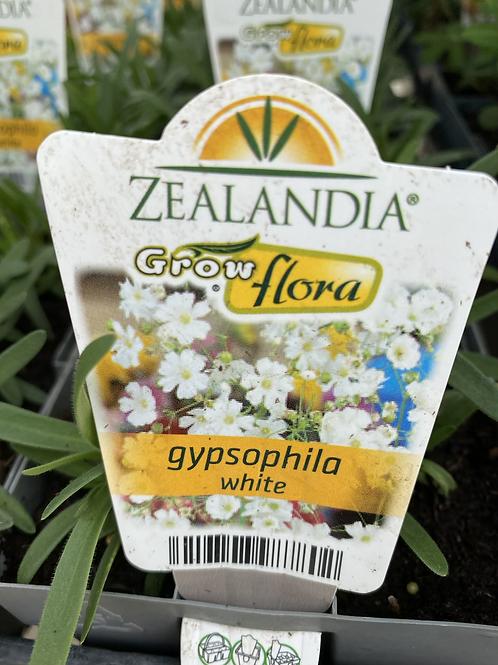 Gypsophlia White 6 cell Z