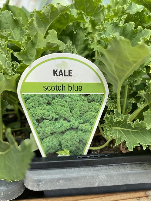 Kale Scotch Blue 6 cell K