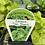 Thumbnail: Lettuce Tom Thumb 6 cell K