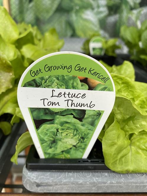 Lettuce Tom Thumb 6 cell K