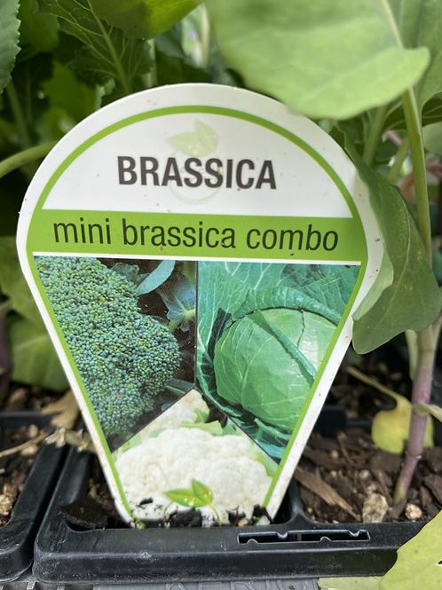 Brassica Mini Combo 6 cell K