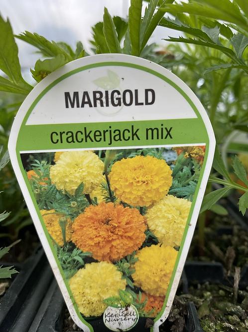 Marigold Crackerjack Mix 6 cell K