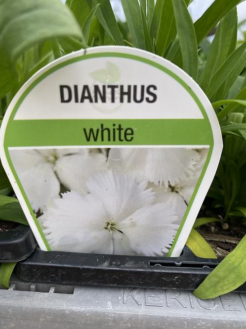Dianthus White 6 cell K