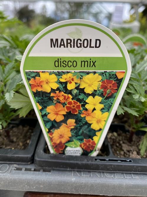 Marigold Disco Mix 6 cell K