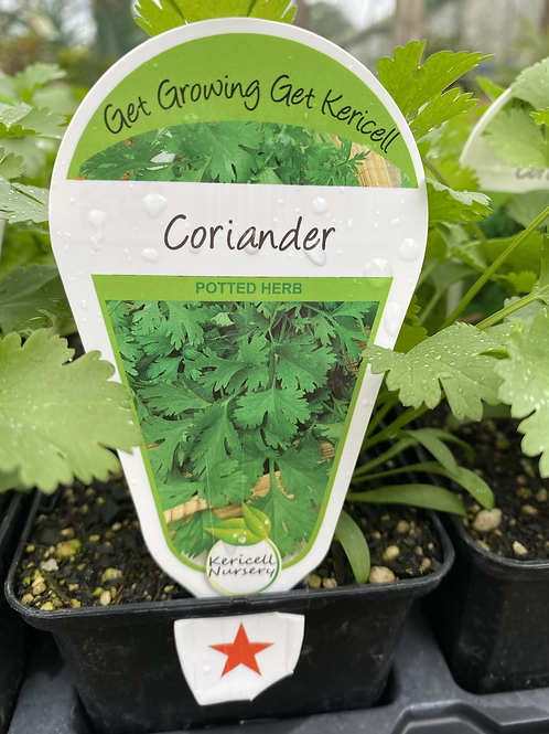 Coriander 9cm K