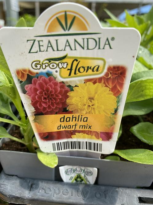Dahlia Dwarf Mix 6 cell Z