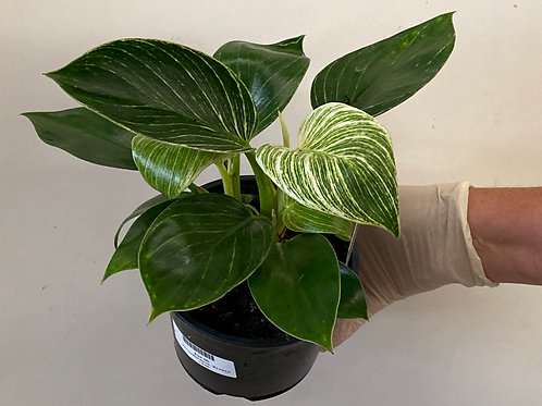Philodendron Birkin 14cm