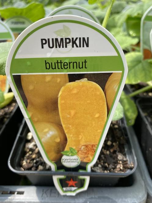 Pumpkin Butternut 9cm
