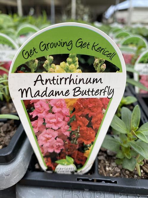 Antirrhinum Madame Butterfly 6 cell K