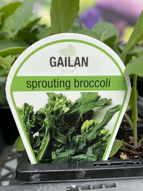Broccoli Gail Lan 6 cell K