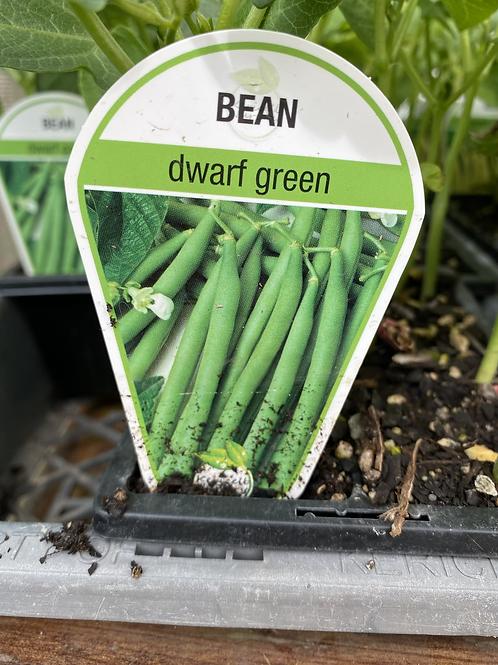 Bean Green Dwarf 6 cell K