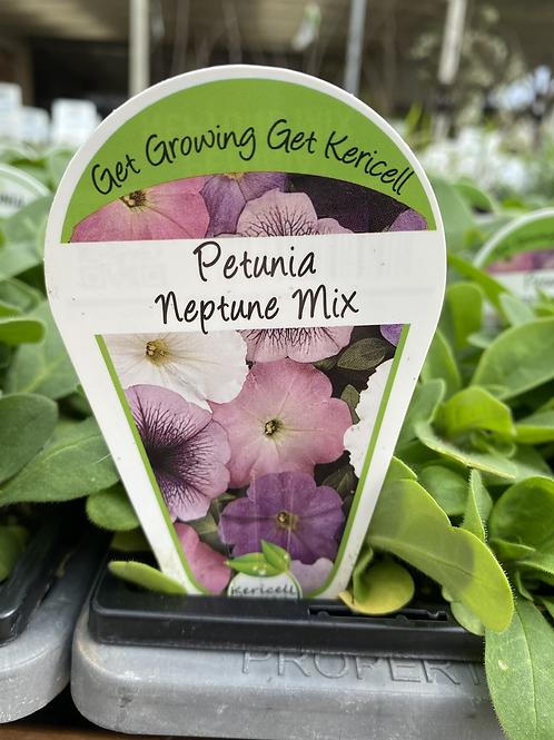Petunia Neptune 6 cell K