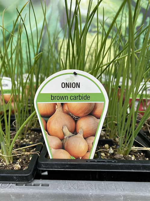 Onion Brown 6 cell K