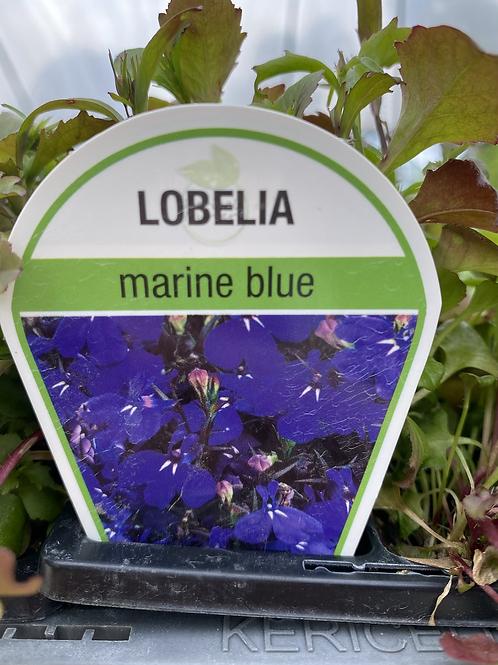 Lobelia Marine Blue 6 cell K