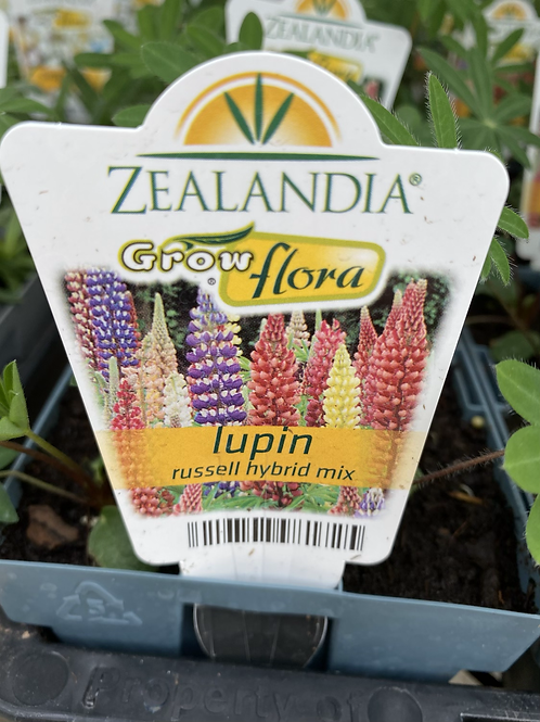 Lupin Russell Hybrid Mix 6 cell Z