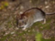 мышь1.jpg