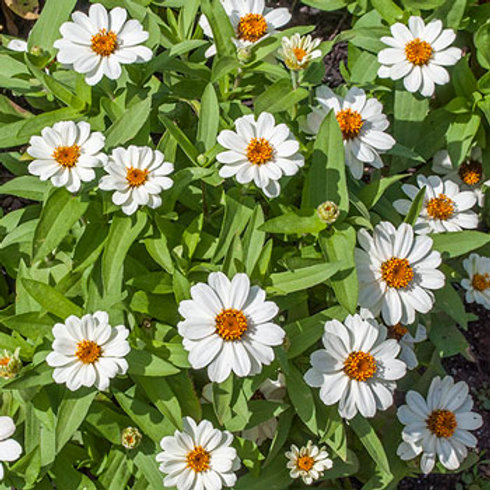 Zinnia (Star White)