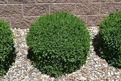 (Globe) Green Mountain Boxwood