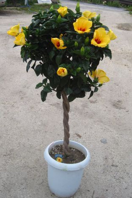 Hibiscus Tree (Chatty Cathy)