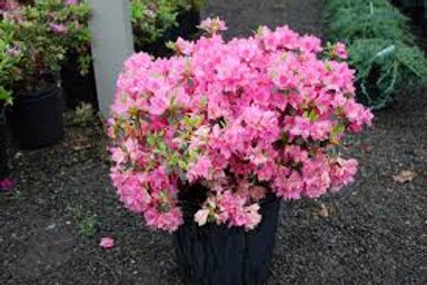 Traditional Azalea