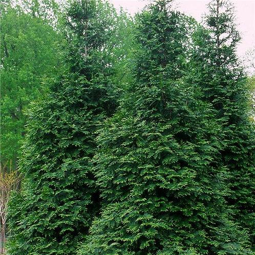 Green Giant (Arborvitae)