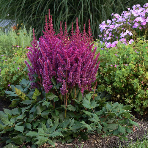 Chinese Astilbe (Visions)